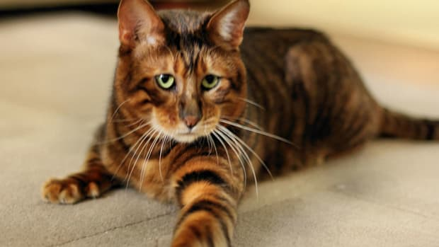 toygers-one-of-the-cutest-cat-breeds-ever