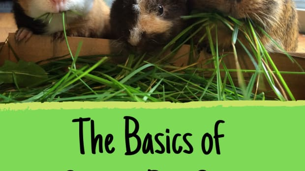 everything-you-need-to-care-for-a-guinea-pig-a-new-owners-guide