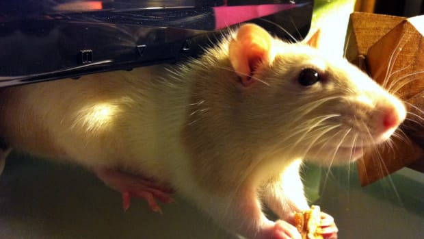 how-to-safely-pick-up-and-hold-a-pet-rat