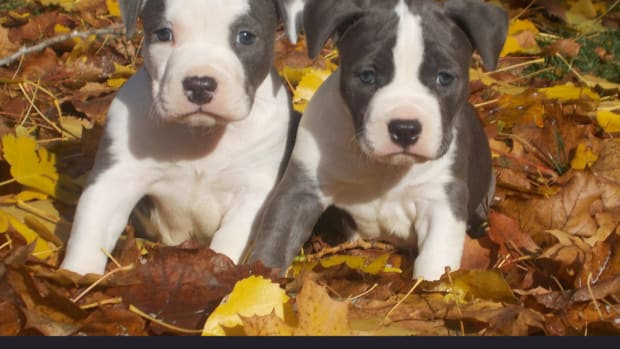 american-staffordshire-pit-bull-terrier-puppies
