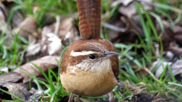 carolina-wren-back-yard-birds-of-north-carolina