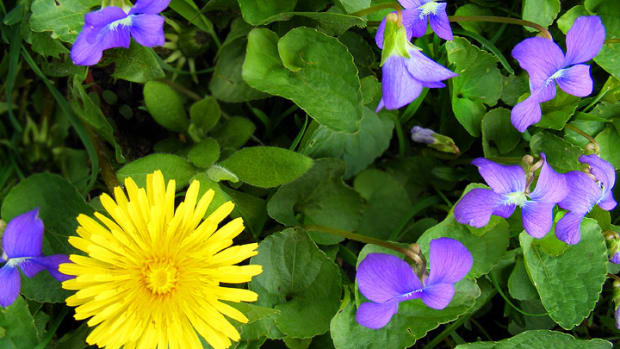 wild-violet-and-dandelion-bath-tea-recipe