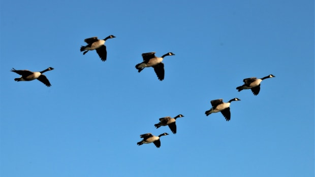 the-canada-goose-facts-and-information