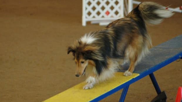 when-it-comes-to-dog-agility-a-competitive-attitude-really-is-a-good-thing