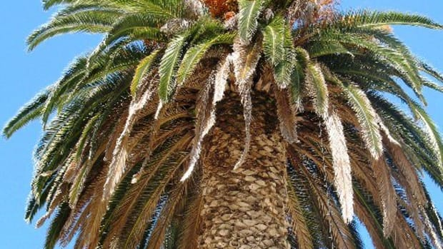 how-to-identify-species-of-palm-trees