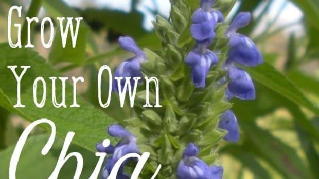 how-i-grow-and-harvest-organic-chia