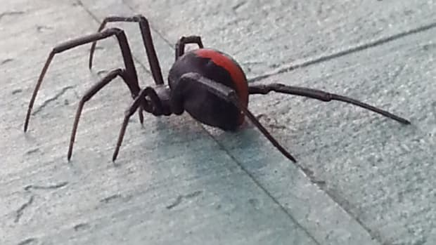i-was-bitten-by-a-redback-spider