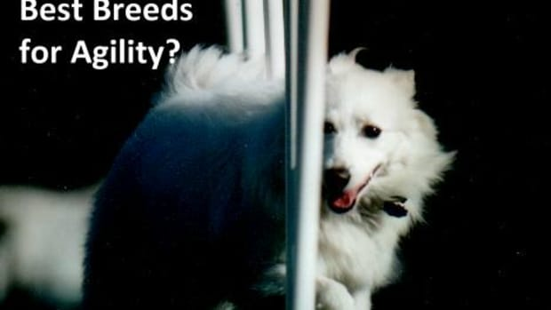 what-are-the-best-agility-dog-breeds