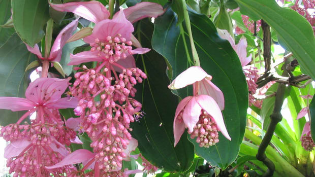 medinilla-magnifica-favorite-new-flowering-plant-of-2012
