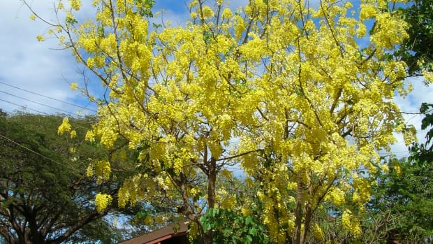 the-indian-medicinal-plant-amaltas-or-cassia-fistula