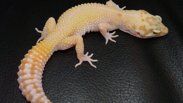 shedding-and-tail-loss-in-geckos