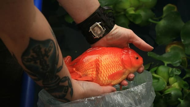 stop-aquarium-dumping-the-right-way-to-dispose-of-aquarium-fish