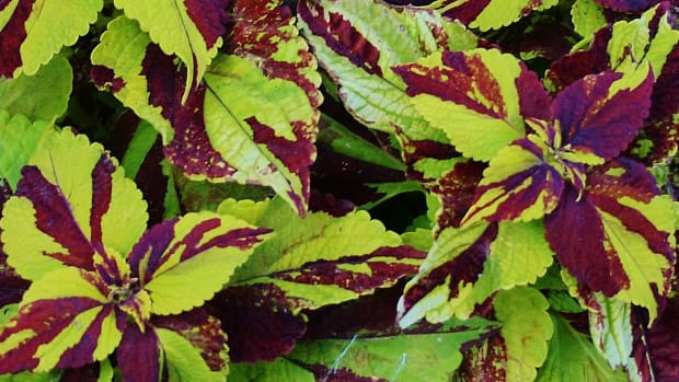 how-to-propagate-coleus-from-cuttings