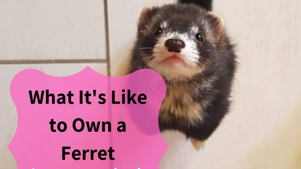 ferrets-the-happiest-pet