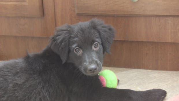 things-to-consider-before-buying-a-labrador-retriever-puppy