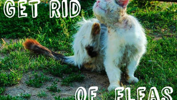 how-to-get-rid-of-fleas-once-and-for-all