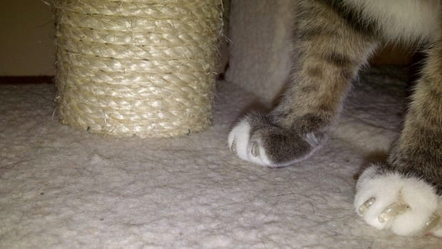 cat-claw-caps-are-cat-nail-caps-a-good-alternative-to-declawing