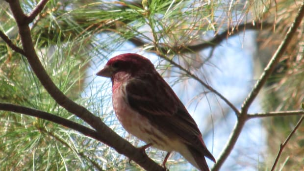 finches-come-in-all-the-colors-of-the-rainbow