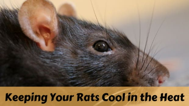 how-to-keep-your-pet-rats-cool-during-summer
