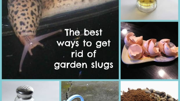 how-to-get-rid-of-slugs-in-the-garden