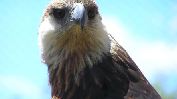birds-of-prey-the-madagascar-fish-eagle