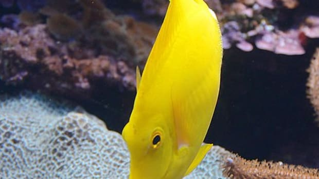 yellow-coloured-fish
