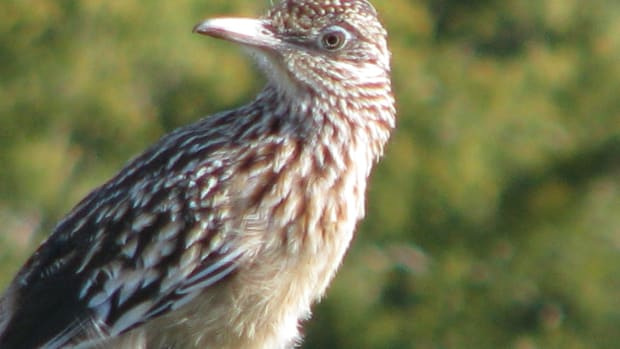real-roadrunner-video-and-facts-for-kids