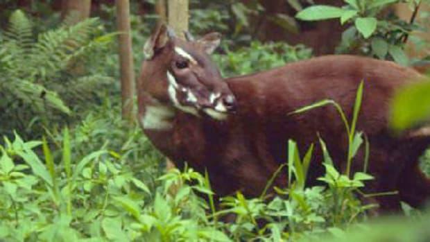 saola-a-critically-endangered-species