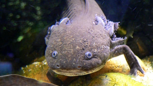 the-endangered-axolotl-and-its-powers-of-regeneration