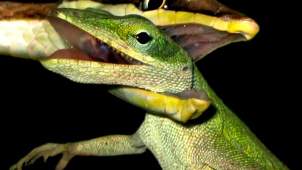 My Expert's Guide to Snakebite article will adequately prepare you, both mentally and physically, for dealing with snakebite so that you don't feel like this Green Anole: hopelessly trapped in the jaws of a Brown Vine Snake, waiting for death's embrace.