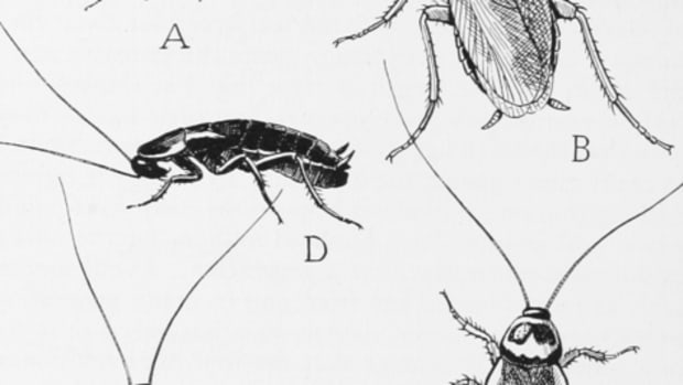 a-brief-overview-of-natural-cockroach-repellents
