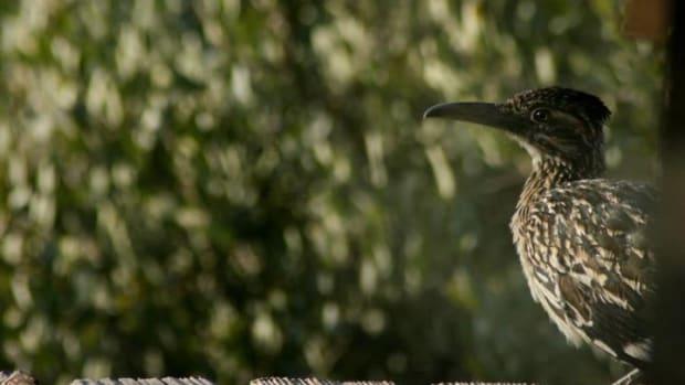 the-roadrunner-the-cuckoos-southwestern-cousin