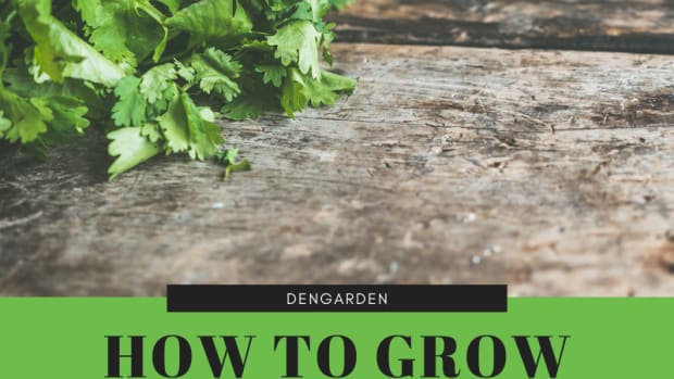 growing-cilantro-aka-coriander-good-for-your-garden-and-great-herb-for-cooking