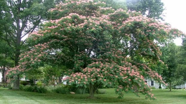 interesting-facts-about-the-persian-silk-tree