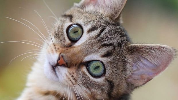 a-cats-nose-cancer-seizure-and-death-sniffing-fire-and-smoke-detecting-felines