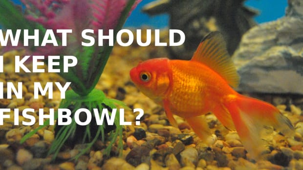 best-fish-for-a-fish-bowl
