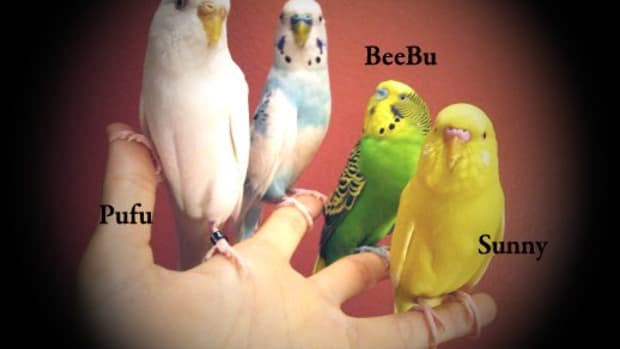 how-to-finger-train-a-parakeet