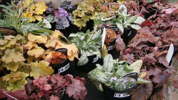 how-to-plant-and-grow-heuchera-or-better-known-as-coral-bells