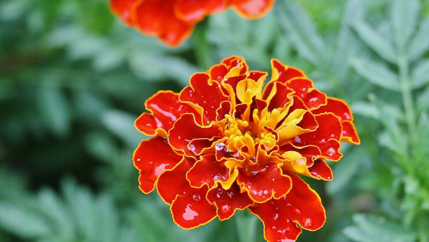 french-marigolds-arent-french