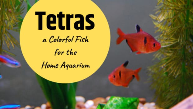 popular-home-aquarium-fish-tetras