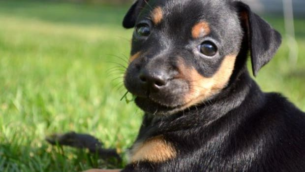 the-miniature-pinscher-the-king-of-the-toys