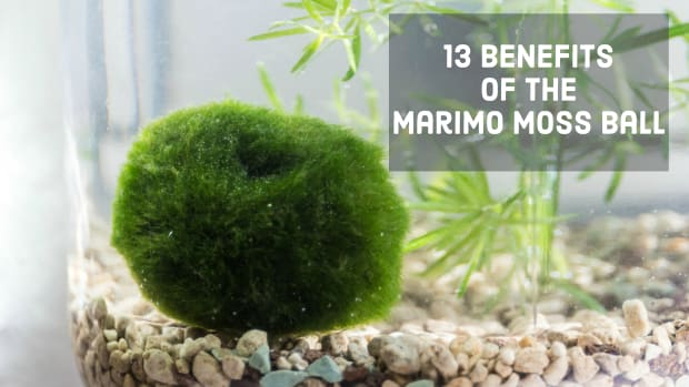 benefits-of-the-marimo-moss-ball