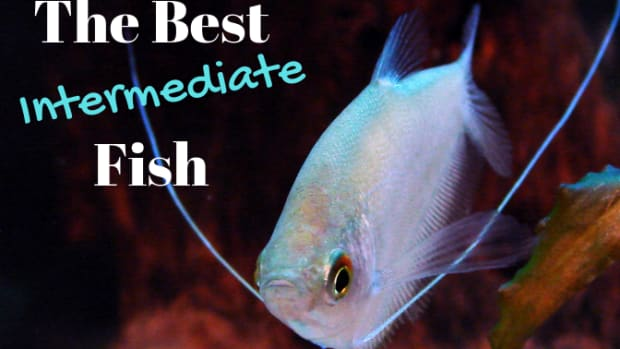 intermediate-level-freshwater-fish