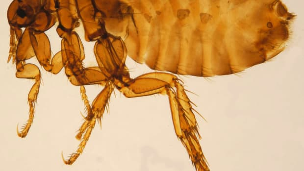 easy-3-step-guide-for-getting-rid-of-fleas-in-your-house