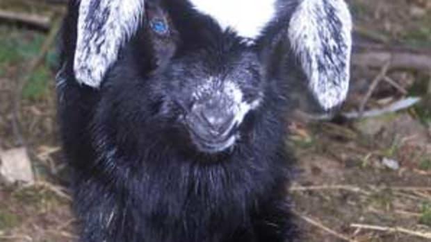 naming-your-goat