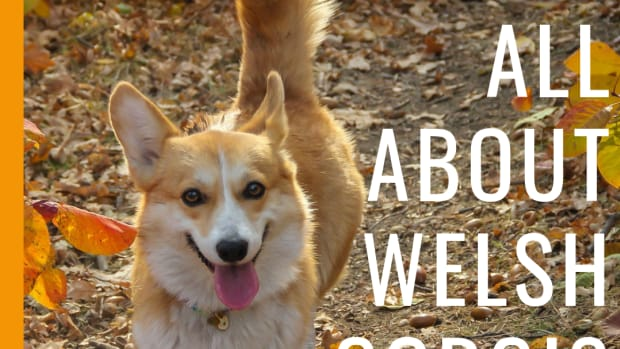 the-welsh-corgi-breed-information