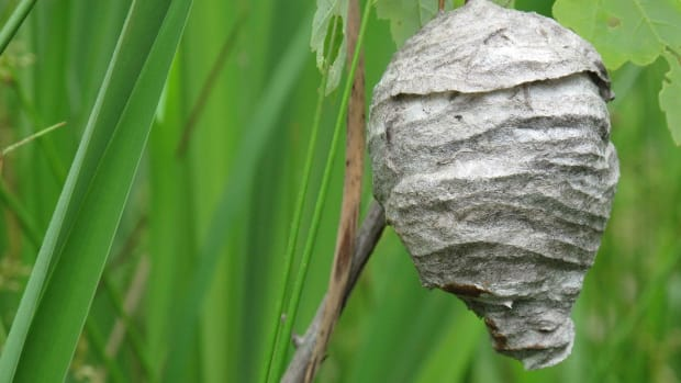 how-to-remove-a-wasp-nest