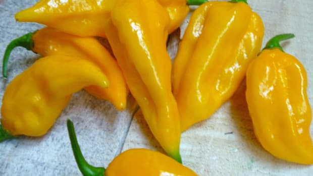 grow-fatalii-peppers