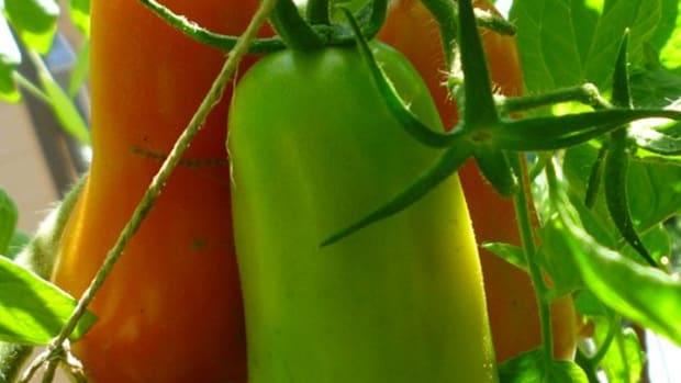 growing-san-marzano-tomato-plants