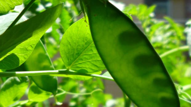 growing-peas-in-containers